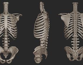 Human Skeletal Torso High Poly 3D model