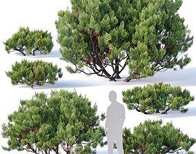 Pinus mugo Nr2 H60-260 cm Six tree set 3D