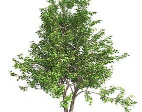 River Birch Tree 3D asset