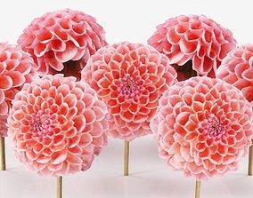 3D asset Garden Dahlia Red