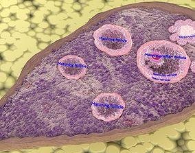 3D ovary cross section