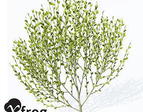 3D model XFrogPlants Pussy Willow