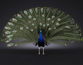 3D model rigged Peacock