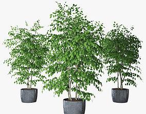 Ficus benjamin 07 3D model