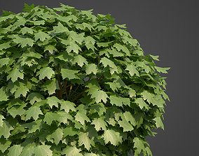 2021 PBR Norway Maple Collection- Acer 3D model
