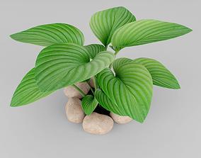 Hosta plant 3D