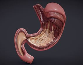 3D asset Stomach Cross Section