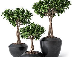 Ficus Microcarpa 2 3D