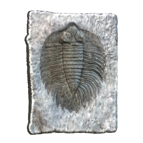 Arctinurus boltoni fossil trilobyte