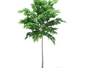 3D model Norway Maple Acer platanoides 2m