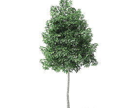 Boxelder Maple Tree 3D Model 4m