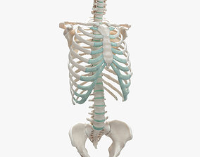 3D Female Torso Skeleton