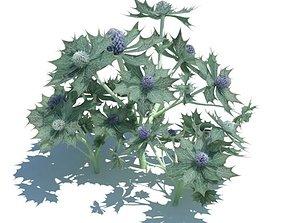 3D model Eryngium Maritimum Plant