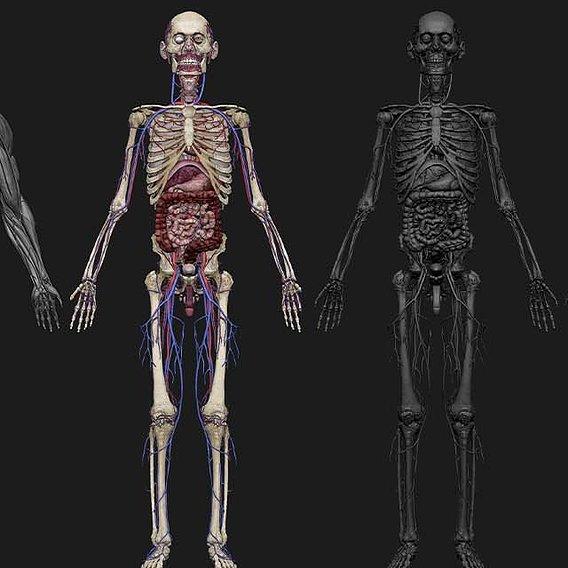HD Male Complete Human 3D Anatomy Model WIP