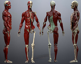 3D model Skeleton and Muscles Study