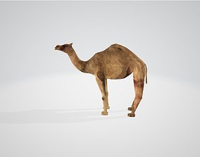 3D asset animated Camel
