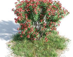 3D Nerium oleander 42 am154