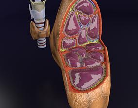 3D Thyroid anatomy microscopic larynx trachea