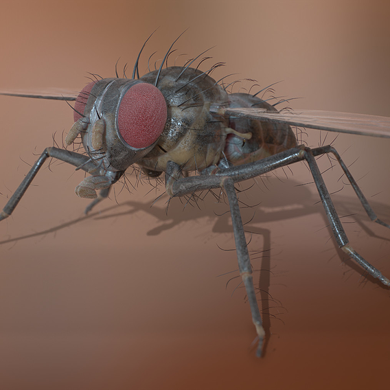 Diptera Fly - Real Time