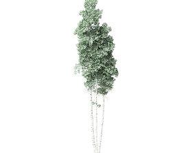 Quaking Aspen Tree 3D Model 12m