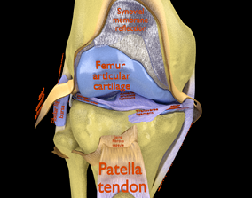 3D Knee joint cut open detail labelled synovial