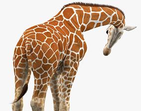3D asset Giraffe Rigged
