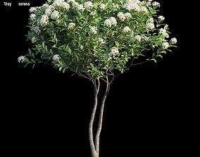 3D ixora plant set 26