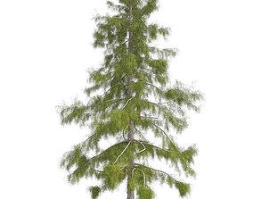 Alaska Cedar Tree 3D asset