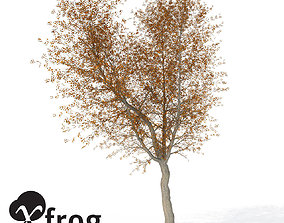 XfrogPlants Autumn Norway Maple 3D
