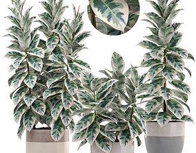 Ficus elastica trees 3D model