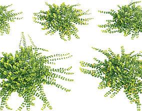 Lysimachia nummularia - Golden Creeping Jenny - 3D 2