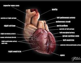 Human heart std mat 3D model