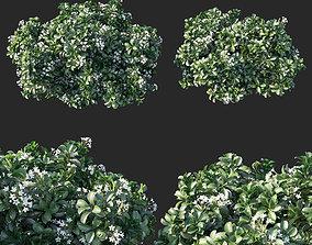 3D Rhaphiolepis Oriental Pearl 02