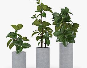 Ficus Elastica elastica 3D model