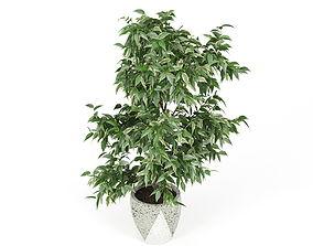3D model Ficus Benjamin