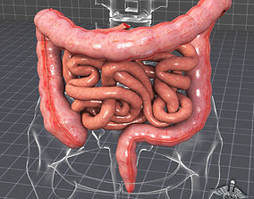 Human Large and Small Intestines 3D