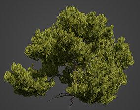 2021 PBR Mugo Pine Collection - Pinus Mugo 3D