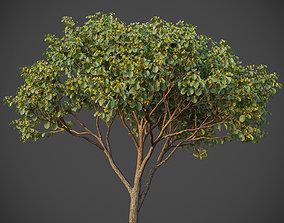 XfrogPlants Witch Hazel - Hamamelis Virginiana 3D model