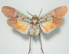 Cicada Penthicoides Farinosa Borneo Insect 3D model