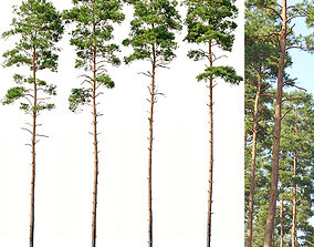3D model Pinus sylvestris Nr6 H24-27m Four tree set