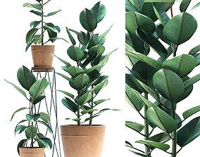 3D Rubber plant 86
