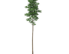 Scots Pine Tree Pinus sylvestris 28m 3D
