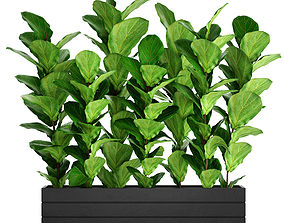 Ficus Lyrata Trees leaves 3D model