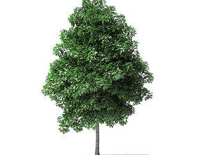 white White Ash Tree 3D Model 4m