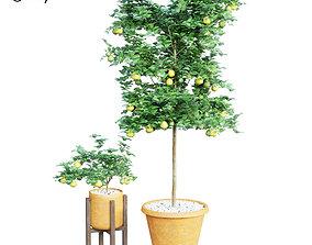 Indoor Lemon Plant 3D model