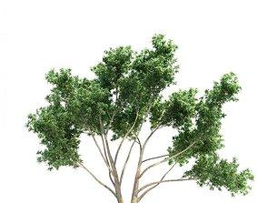 3D Fully Mature Eucalyptus Tree