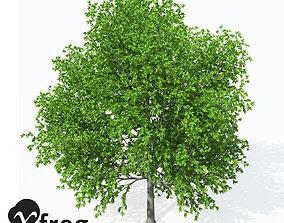 3D XfrogPlants European Hop Hornbeam