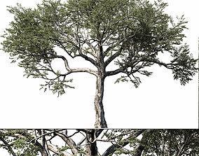 Quercus -Coast Live Oak 04 3D model