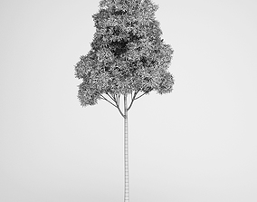 Sugar Gum Tree 3D model