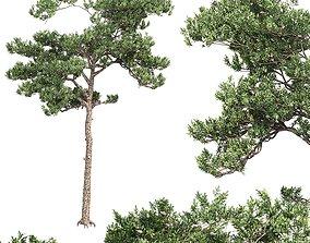 3D Pine 6